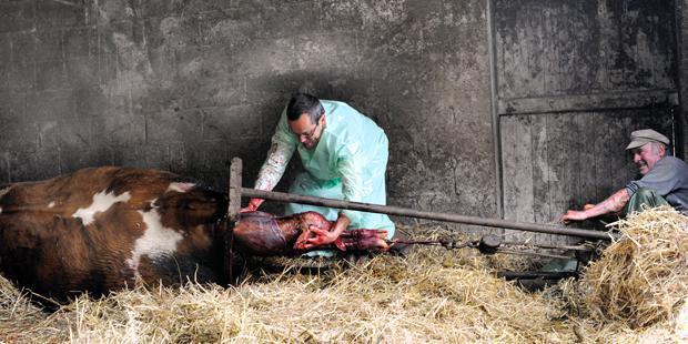 Vêlage douleur vétérinaire