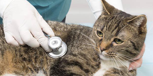 auscultation cardiaque d'un chat
