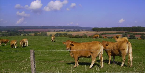 Troupeau de vaches allaitantes