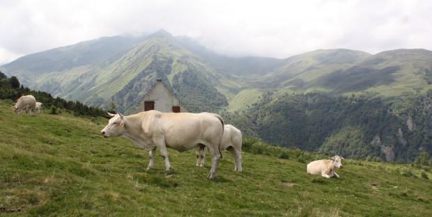 troupeau de vaches en estive dans les Pyrénées