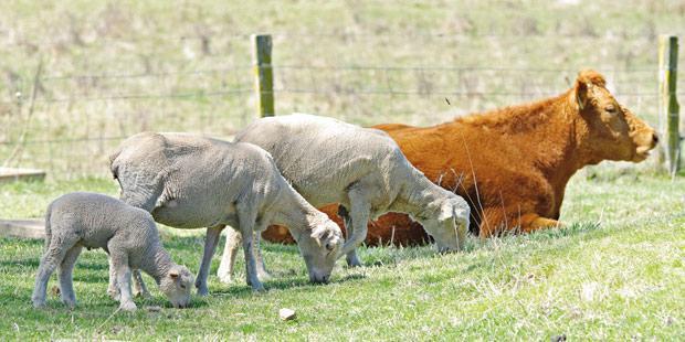 Des moutons et des vaches dans un champ