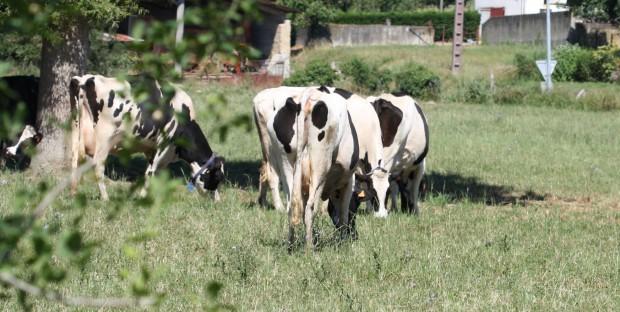 Des vaches laitières Holstein dans un pré