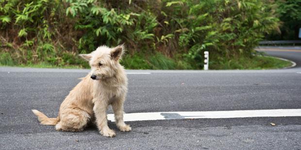 chien en divagation sur la route
