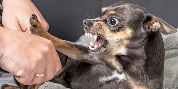 chien pinscher agressif