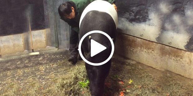 <p>Ci dessus : <i>medical training</i> avec un tapir malais. Ci dessous, une jeune femelle orang outan est familiarisée avec des séances fictives de soins : échographie, auscultation cardiaque, soins au niveau de la tête, des membres, des dents, etc. avec récompenses et clicker.</p>
