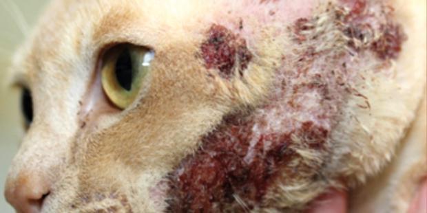 Chat avec un prurit cervico-facial. Un staphylococcus aureus résistant à la méticilline a été détecté grâce à l'antibiogramme.