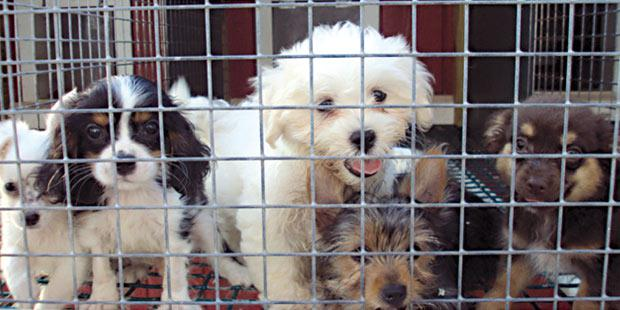 chiots cage