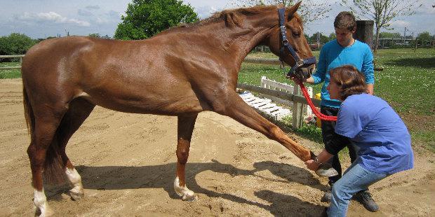 Séance d'ostéopathie chez un cheval