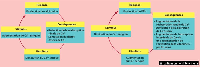 FIGUREHoméostasie du calcium: effets de la parathormone, des métabolites de la vitamine D et de la calcitonine sur la régulation du calcium sanguin