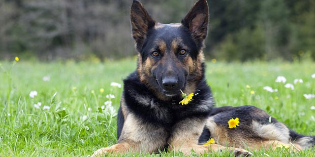 Un berger allemand couché avec fleur dans la gueule