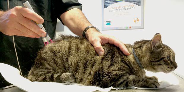 utilisation du laser thérapeutique chez un chat souffrant de douleurs neuropathiques