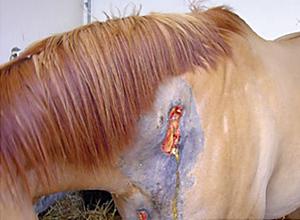 Cheval présenté pour une cellulite septique à la suite d'une injection intramusculaire d'imidocarbe.