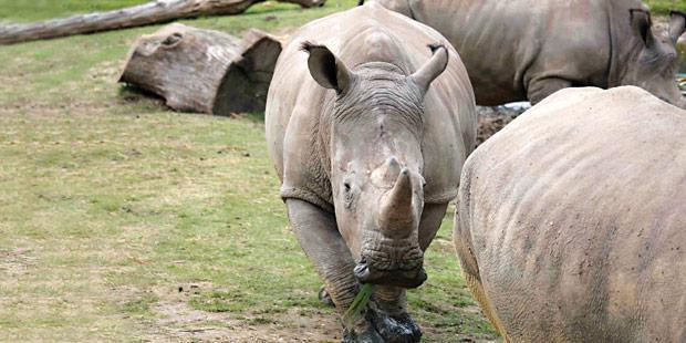 Un rhinocéros dans un zoo