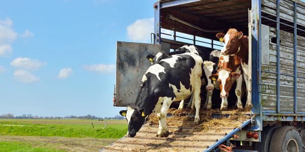 transport vache