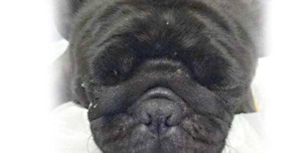 chien brachycephale
