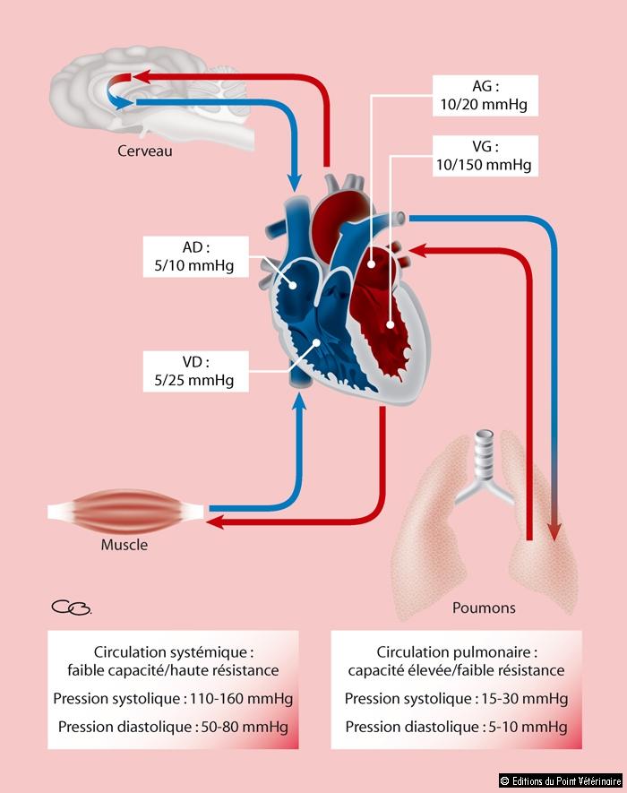 FIGURE 1Caractéristiques des circulations systémique et pulmonaire