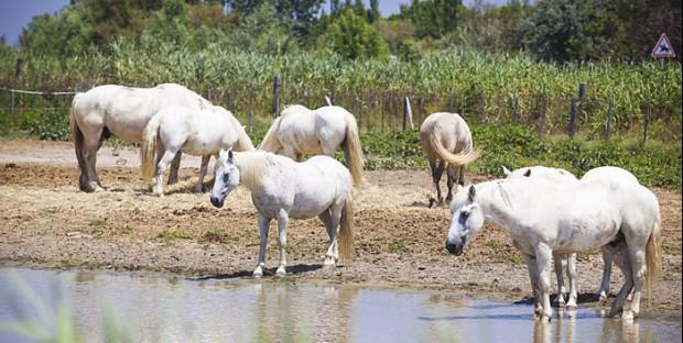 chevaux en camargue