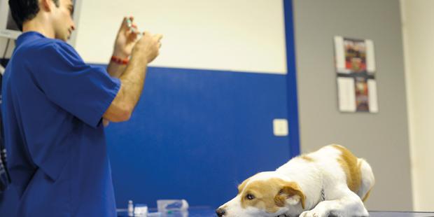 Injection du vaccin de la rage sur un chien