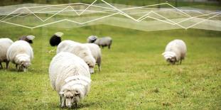 Moutons connectés dans un pré