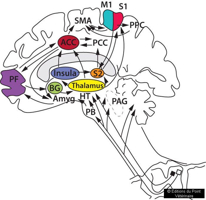 FIGURE 6Voies ascendantes de la douleur et interconnectivités des régions corticales et sous-corticales impliquées dans la perception de la douleur