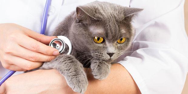 Chat stéthoscope
