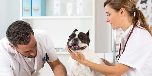 Vétérinaires qui auscultent un chien