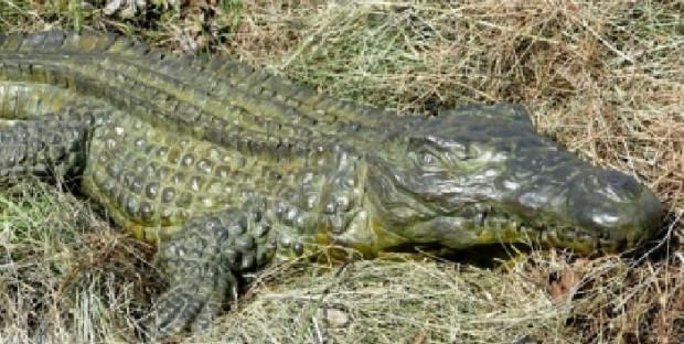Crocodile du Nil de Damien Colcombet