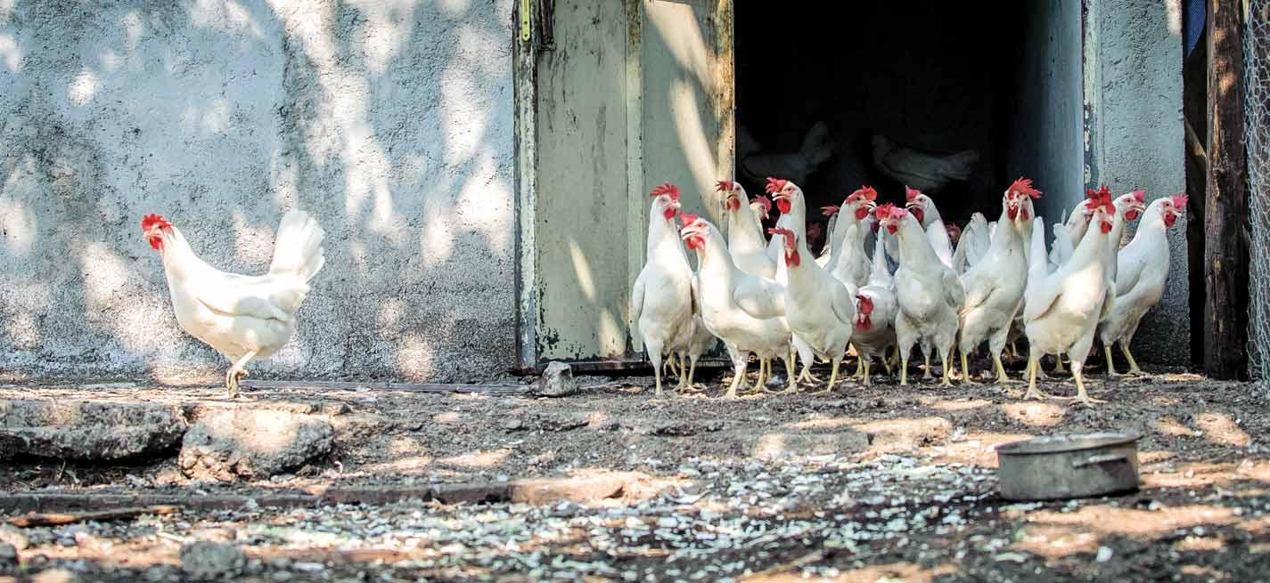 La France repasse en niveau négligeable de risque épizootique pour l'influenza aviaire hautement pathogène.