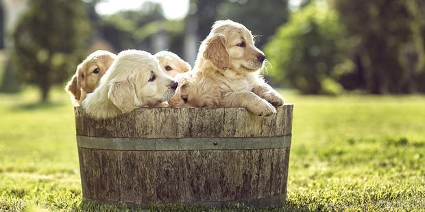 Chiots dans une bassine