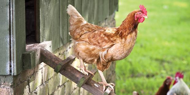 Une poule rousse