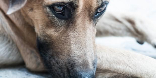 chien depression