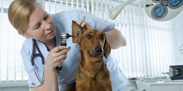 Un vétérinaire ausculte l'oreille d'un chien.