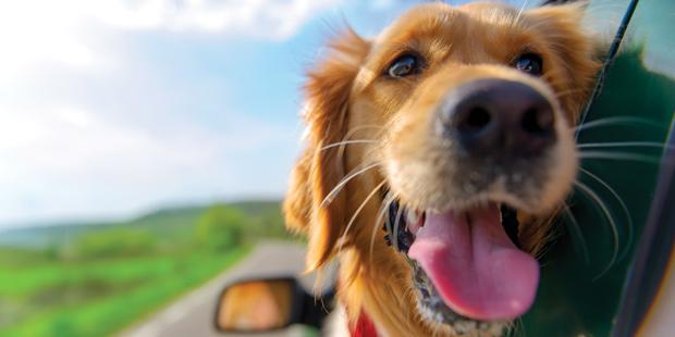 Un chien à la fenêtre d'une voiture qui roule