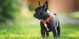 Le bouledogue français fait partie des races canines plutôt à la mode souvent touchées.