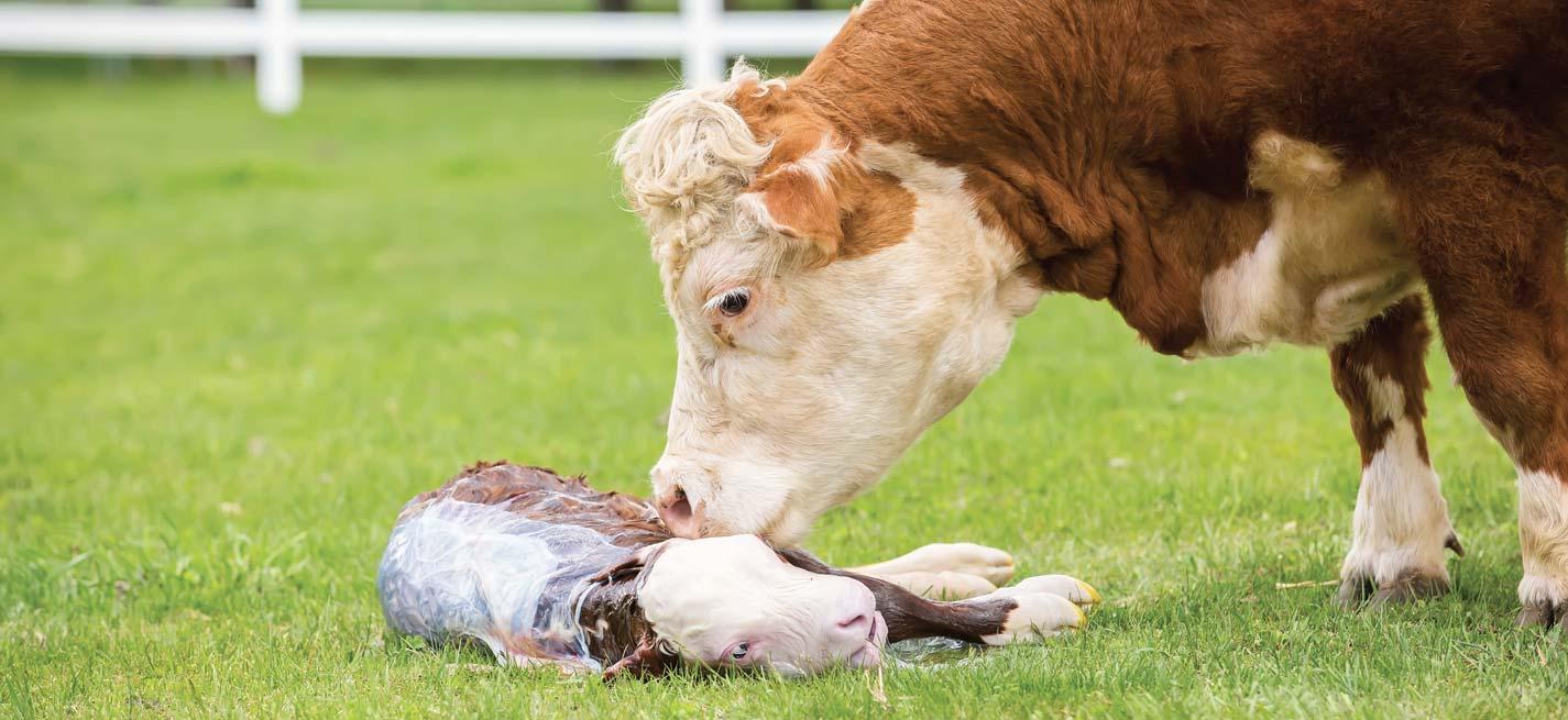 Une vache avec son veau