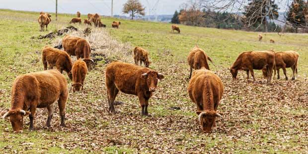 troupeau de vaches Salers