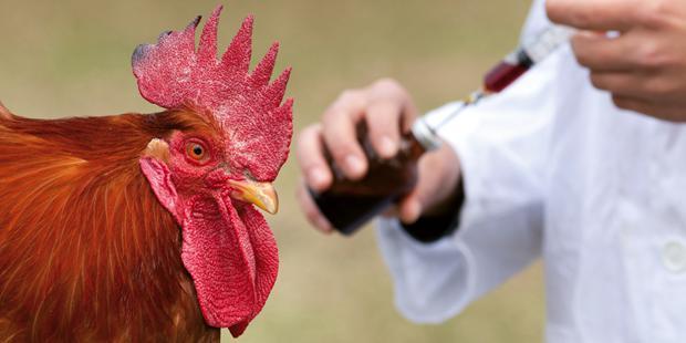 poulet, vaccin