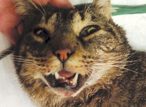 Traumatisme crânien chez un chat