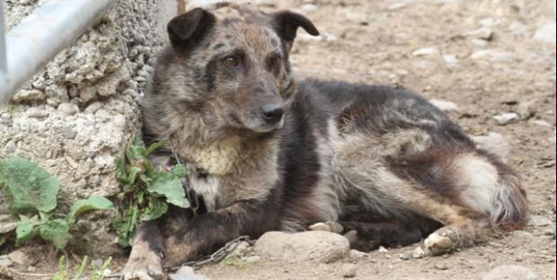 chien berger d'Auvergne
