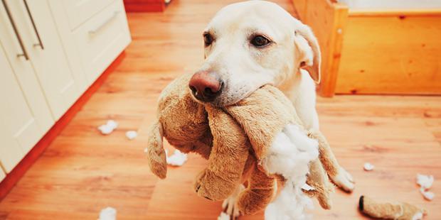 Labrador en train de déchiquetter une peluche