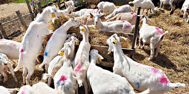 Troupeau de chèvres qui mangent