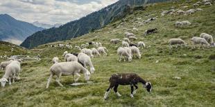 un troupeau de moutons en estive dans les Pyrénées