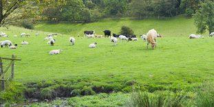 vaches et moutons au pré