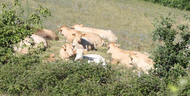 Troupeau de vaches Blondes d'Aquitaine au pré