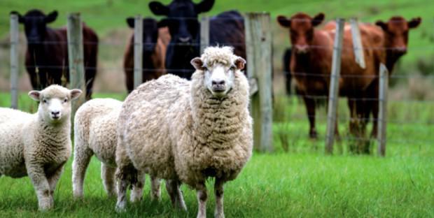 troupeaux d'ovins et bovins au pré