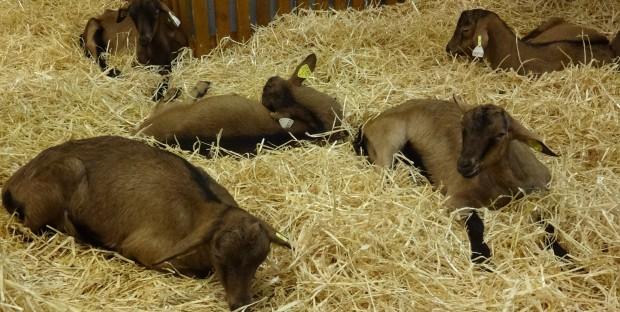 groupe de jeunes chèvres laitières