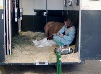 Cheval traumatisé en décubitus dans le van. Il a été anesthésié pour pouvoir le bouger et réaliser des radiographies.