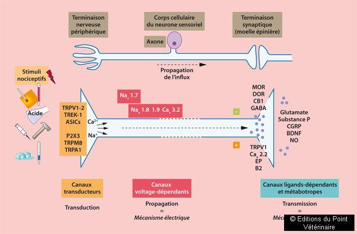 FIGURE 1Représentation schématique du premier neurone sensitif: localisation et fonction des canaux transducteurs, voltage et ligands-dépendants, métabotropes