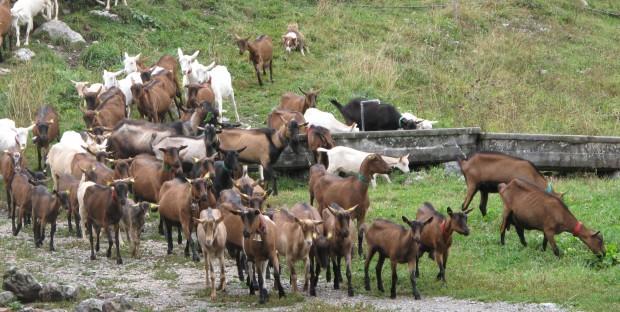 un troupeau de chèvres dans les Alpes