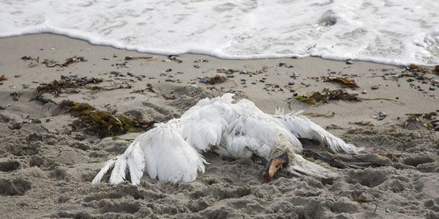 cadavre de cygne sur une plage